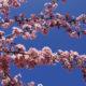 Kalanchoe tubiflora, Brutblätter-Pflanze