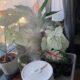 Philodendron Silver Sword Stecklinge zu verkaufen