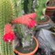 Kaktus Cylindropuntia tunicata