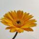Wunderstrauch (Codiaeum Variegatum) Gold Sun