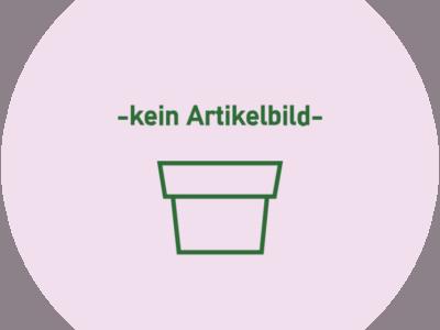 Grünlilie STECKLING -die immergrüne Luftreinigerin