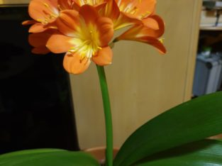 Clivia miniata – Blühpflanze mit Blütenansatz