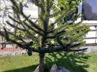 Chilenische Andentanne – Araukarie – Affenbaum