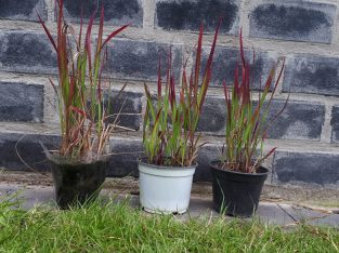 4 x Red Baron Japanisches Blutgrass Roter Baron