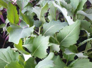 KOHLRABI Jungpflanzen (Grün und Lila)