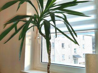 Yucca Palme 120 cm