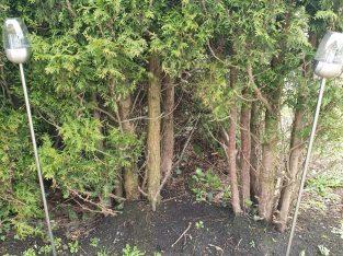 Buchsbäume und Gartenhecke