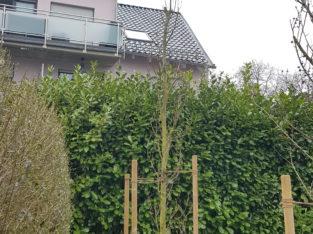Säulenbuche XXL grünlaubige 'Iskander' 6m hoch