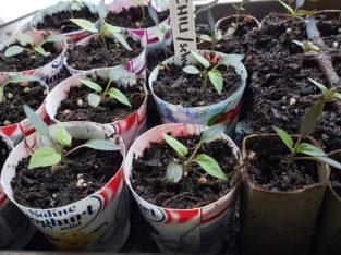 Chili Chilipflanze scharf schwarze Früchte