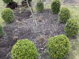 Buchsbaum Kugeln