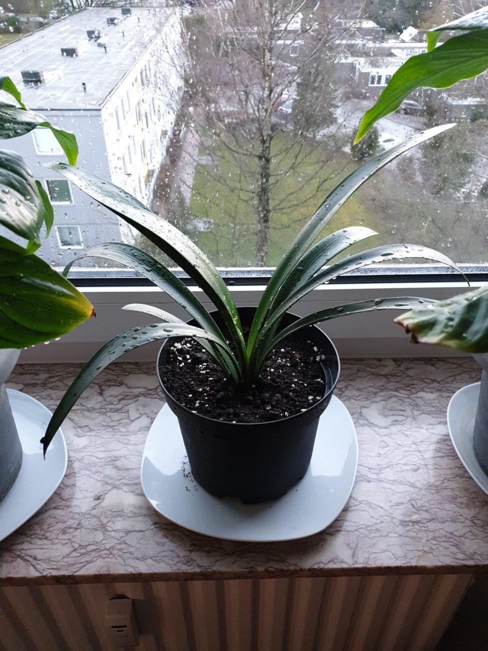 Klivie miniata Zimmerpflanzen