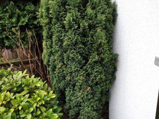 Immer grüner Baum