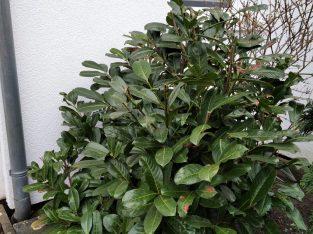Kirschlorbeer – Prunus laurocerasus Herbergii