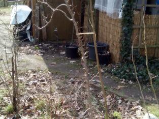 Junger Birnbaum – Gute Luise