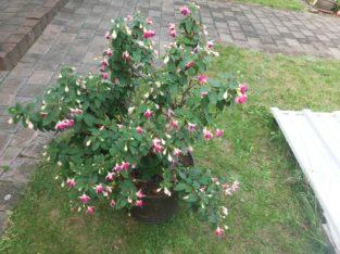 Fuchsie rosa/pink