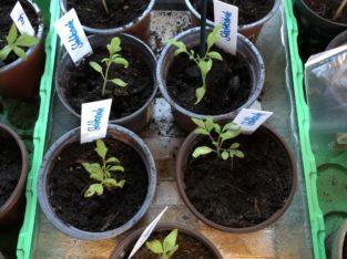 Jungpflanzen Stabtomate