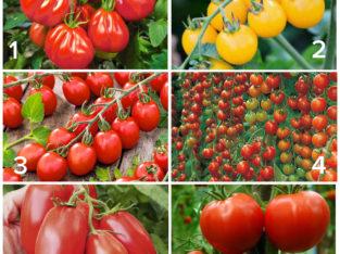 Verschiedene exotische Tomatenpflanzen-BIO Tomaten