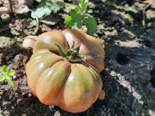 1 Tomatenpflanze Purple Calabash