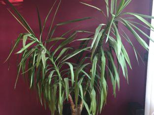 Yucca Palme 2,20m TOP gesund
