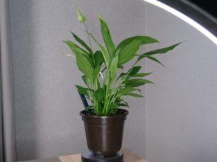 Einblatt Pflanze Friedenslilie Luftreiniger