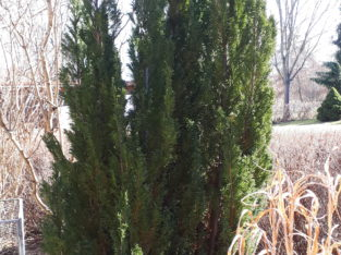 Verkaufe Thuja Lebensbaum ca. 2,80 m (Rüdnitz)