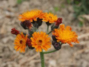 Orangerotes Habichtskraut Jungpflanzen
