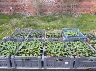 Jungpflanzen Tomate, Paprika und Aubergine