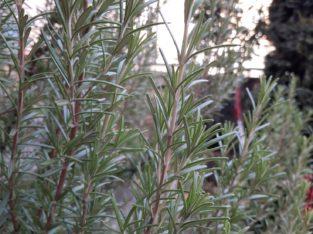 Frische Bio Rosarin, frisch geerntet und grün