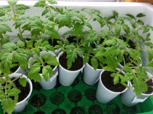 Tomatenpflanzen eigene Aufzucht