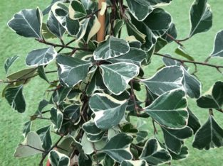Ficus triangularis sweetheart