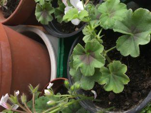 Pelargonium (Geranien)