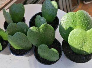Doppelte Herzblattpflanzen