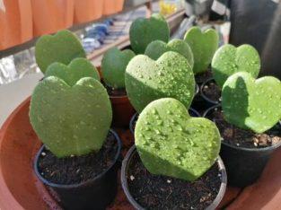 Herzblattpflanzen