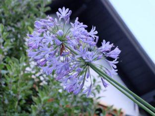 Agapanthus, Schmucklilie, blaue Blüte, blühfähig