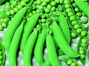 Erbsensamen / Bio Saatgut / Aussaat 2021