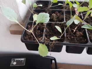 Kohlrabi pflanze im Topf, Gemüsepflanze 0.25ct Stü