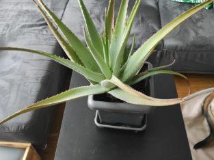 Aloe Vera Pflanzen günstig abzugeben