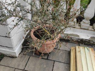 Olivenbaum mit Topf