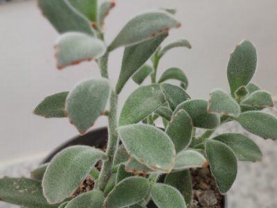 Katzenohr-Kalanchoe Kalanchoe tomentosa (Sukkulente)