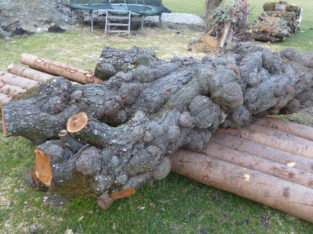 Verkrebster Pflaumenbaum (Kriecherlbaum)