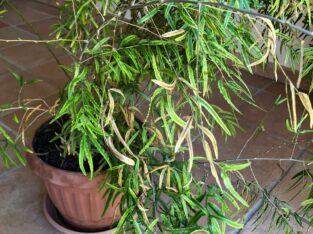 Zimmerpflanze / Zierspargel inkl. Übertopf