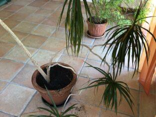 Zimmerpalme / Drachenbaum inkl. Tontopf