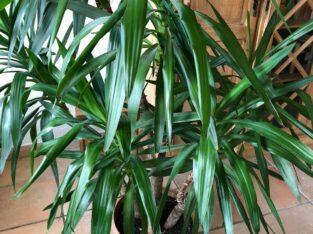 Drachenbaum Dracaena / Palme 3er-Stamm inkl. Tonkrug