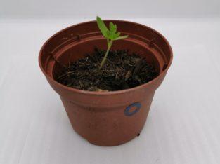 Tomate ( Schwarze Indigo)