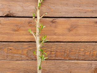 1 säulenobst Pflanzen Pfirsich readhaven ????