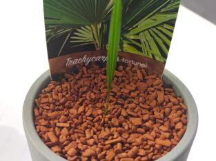 Palme Fortunei Premium Keimling
