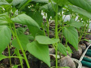 mini paprika pflanze Capsicum annuum
