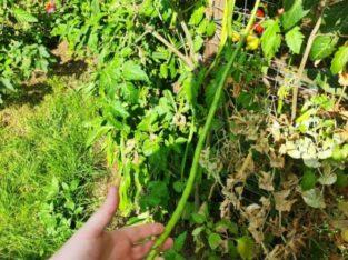 Meterbohne (yard long bean) Pflanzen