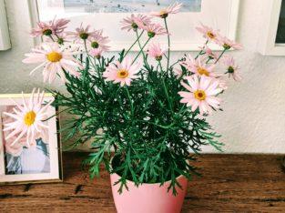 Bunte Margarite | Rosé | Rosa | Balkonpflanzen