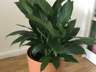 Friedenslilie Spathiphyllum floribundum Einblatt